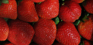 strawberry-picking-blessington-farms-houston-tx-simonton