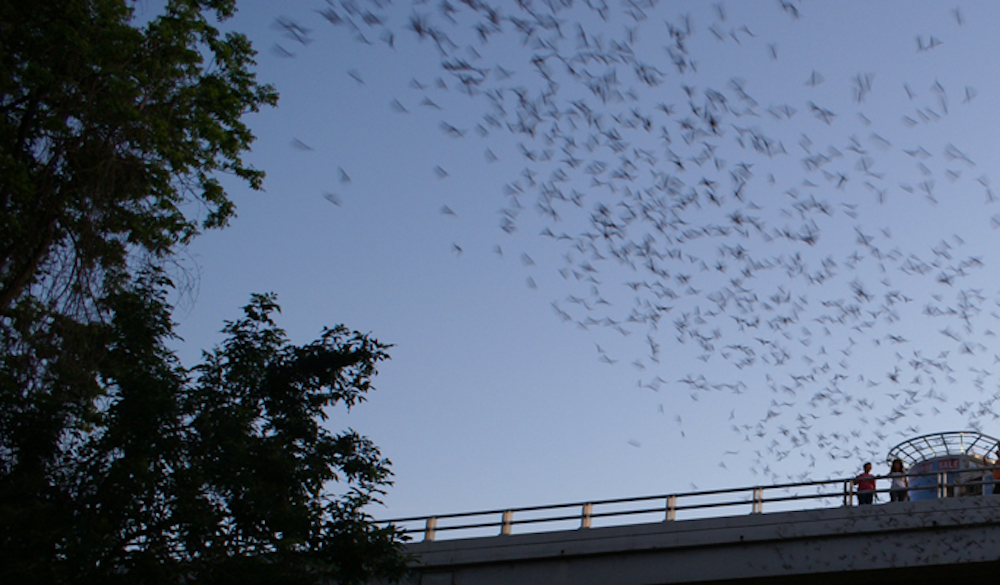 waugh-bridge-bat-colony-houston