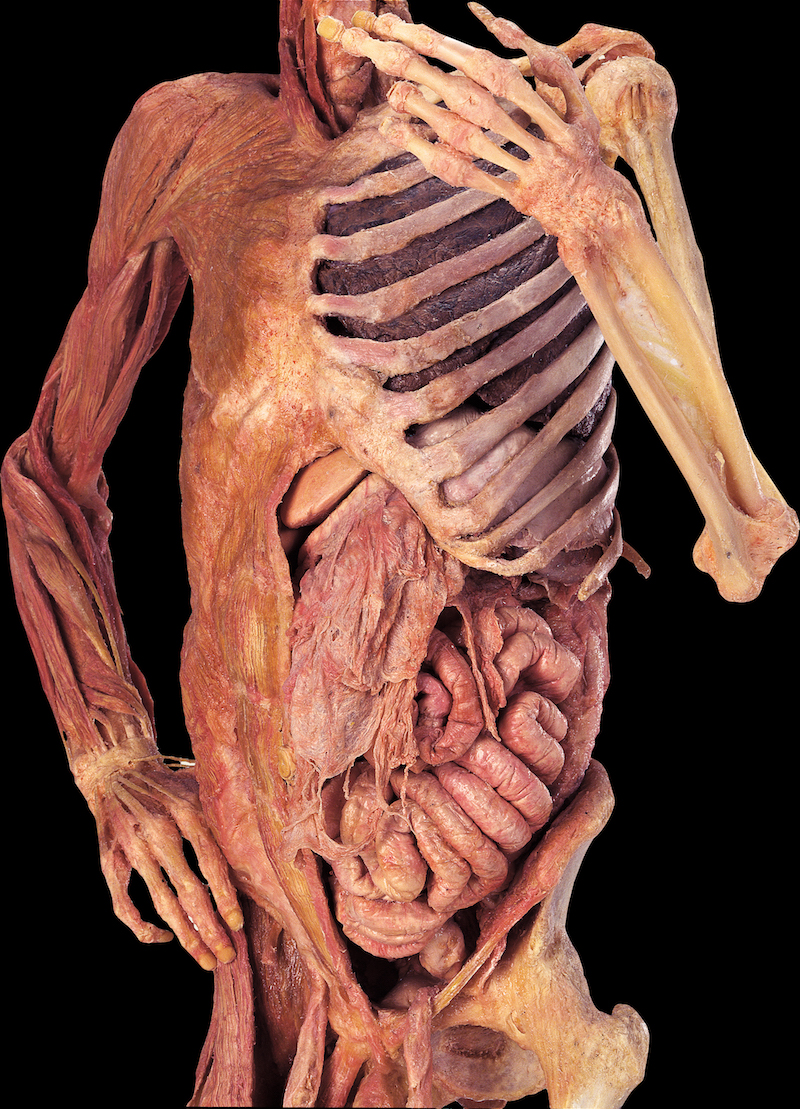 John P. McGovern Museum of Health & Medical Science in Houston, Texas has announced that it will be hosting Premier's exhibit that features real human bodies. The exhibit, called Bodies, features 20 whole-body specimens and more than organs and partial body specimens. It will use 20, square feet of exhibit space.